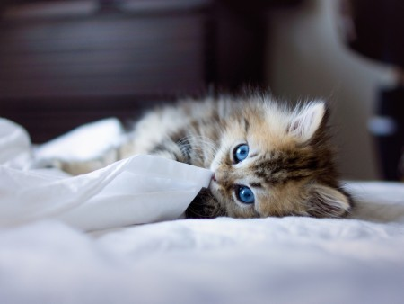 kitty-with-blue-eyes wallpaper